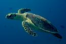 Karettsköldpadda (Eretmochelys imbricata)