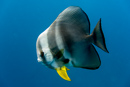 Långfenad fladdermusfisk (Platax teira)