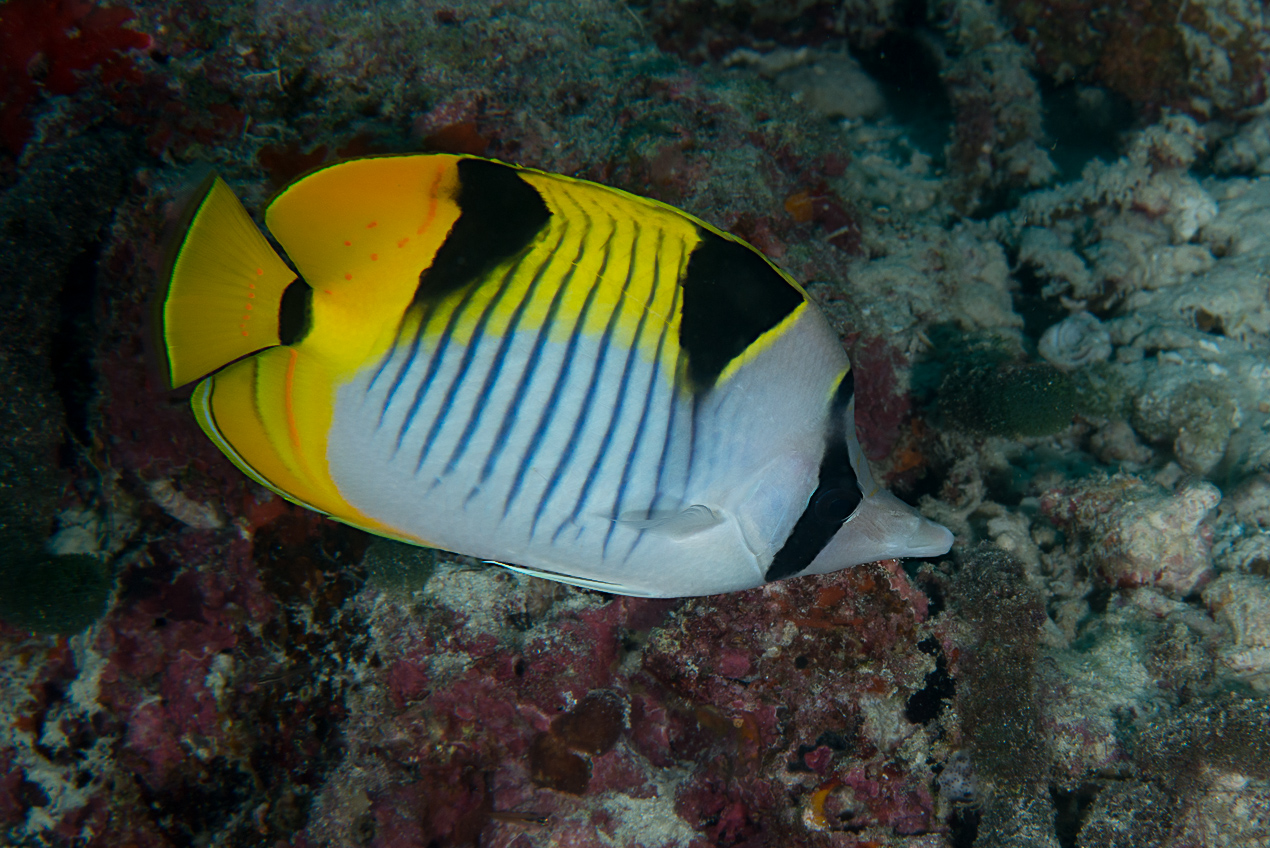 Saddleback butterflyfish (Chaetodon falcula)