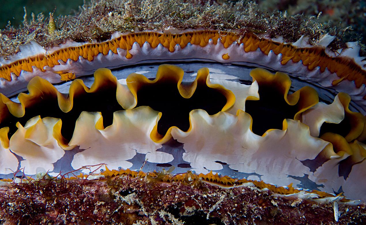 Variable thorny oyster (Spondylus varius)