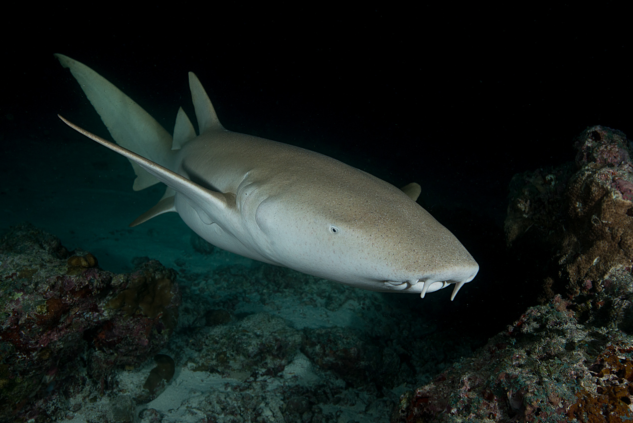 Nurse shark (Nebrius ferrugineus)
