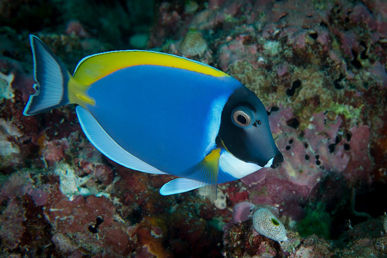 Powder-blue surgeonfish (Acanthurus leucosternon)