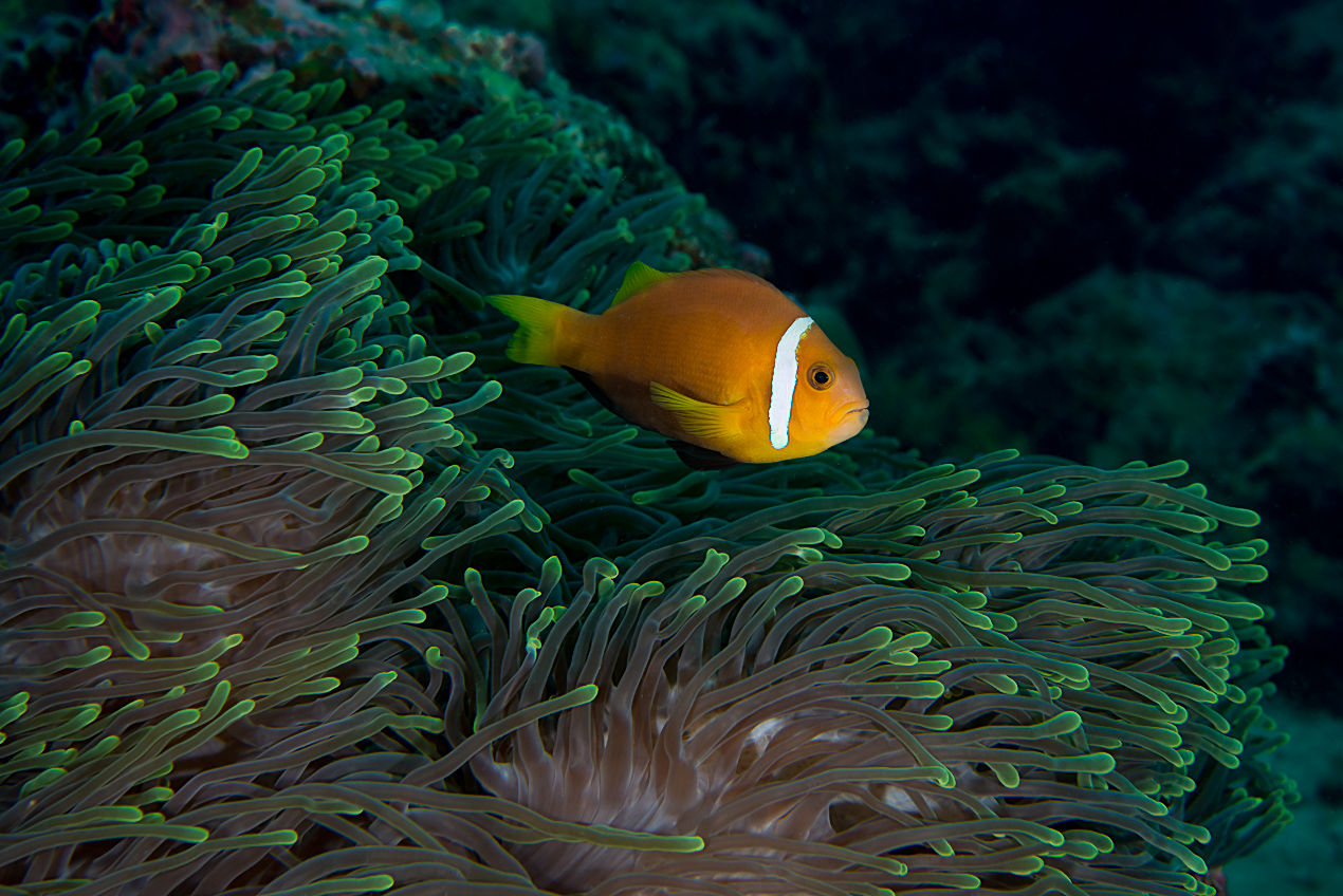 Maldives anemonefish (Amphiprion nigripes)
