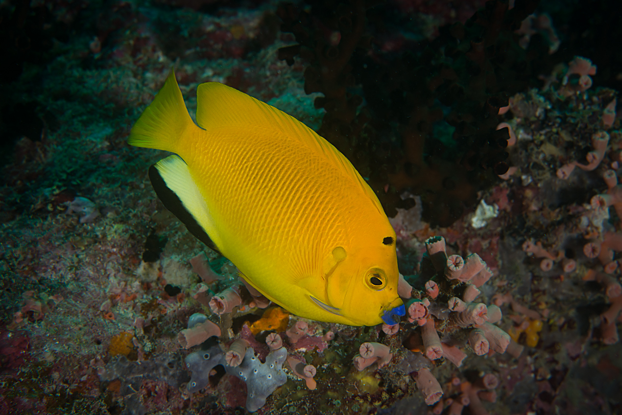 Three-spot angelfish (Apolemichthys Trimaculatus)