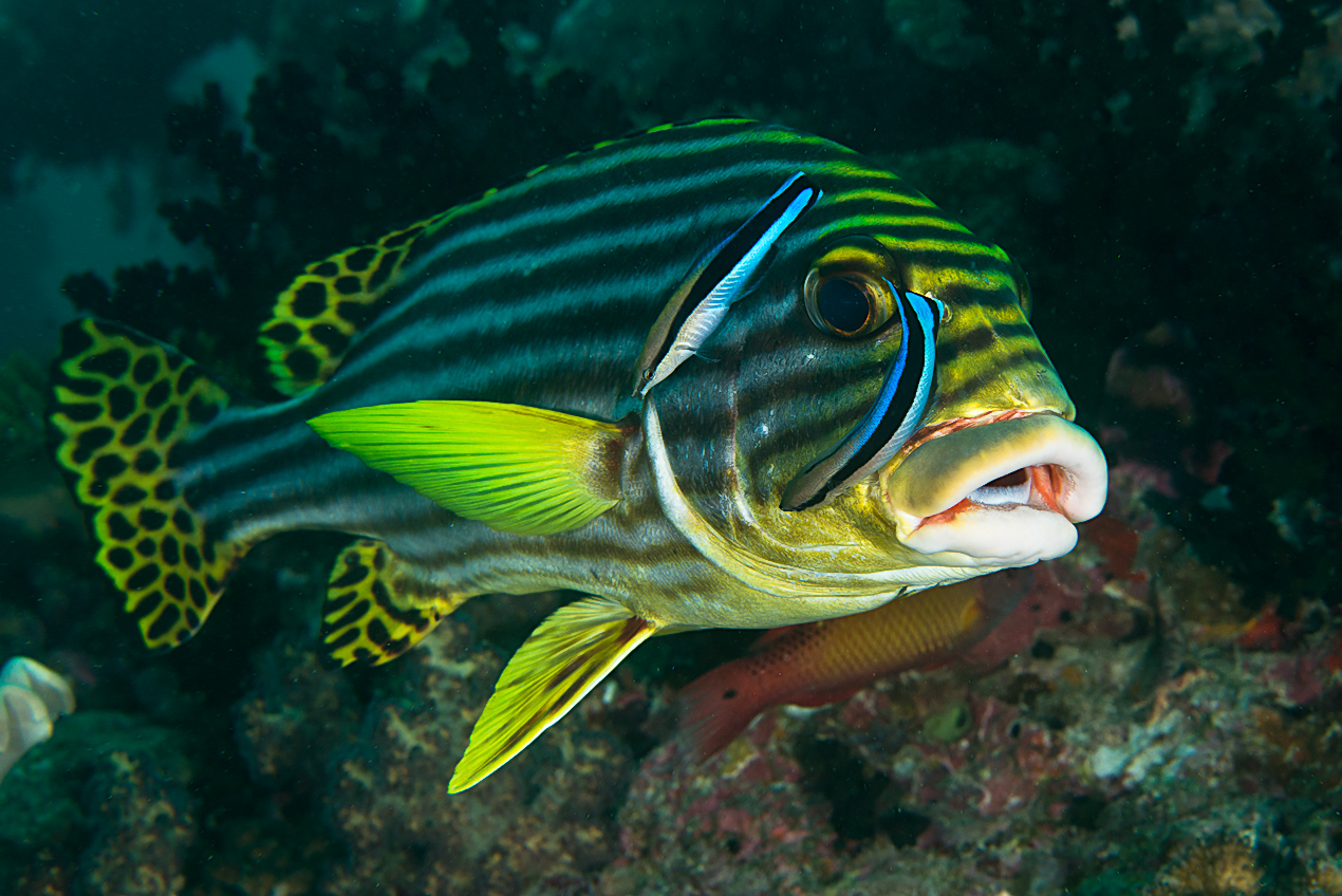 Oriental sweetlips (Plectorhinchus orientalis) at cleaning station
