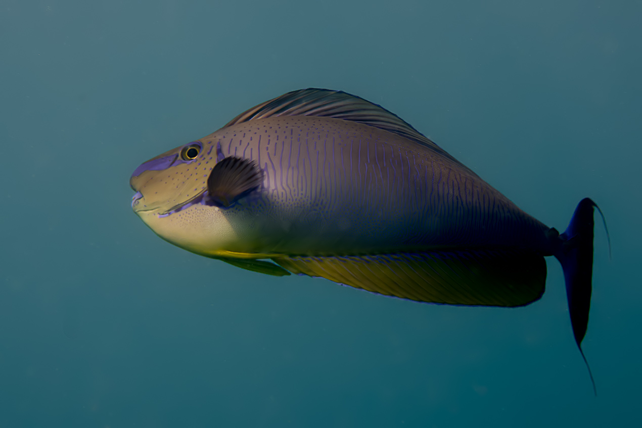 Bignose unicornfish (Naso viamingi)