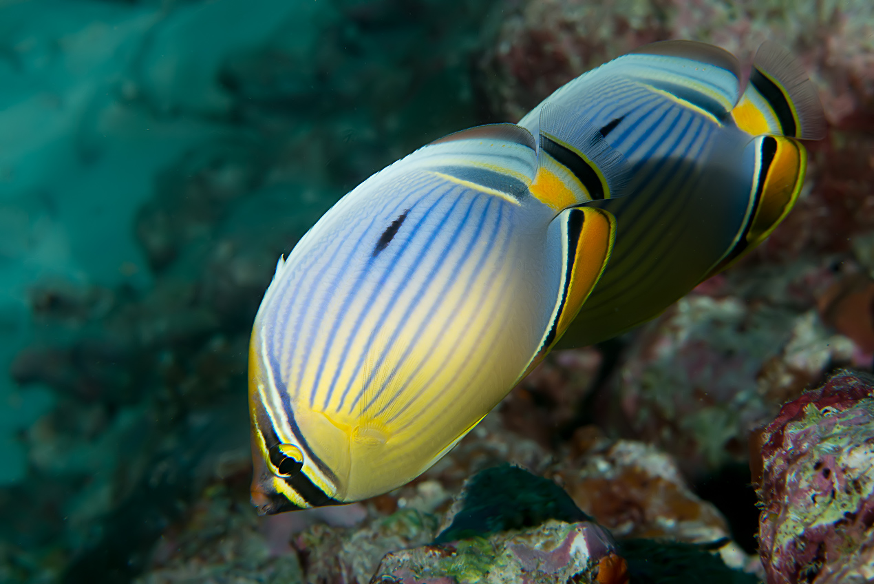 Indian redfin butterflyfish (Chaetodon trifasciatus)