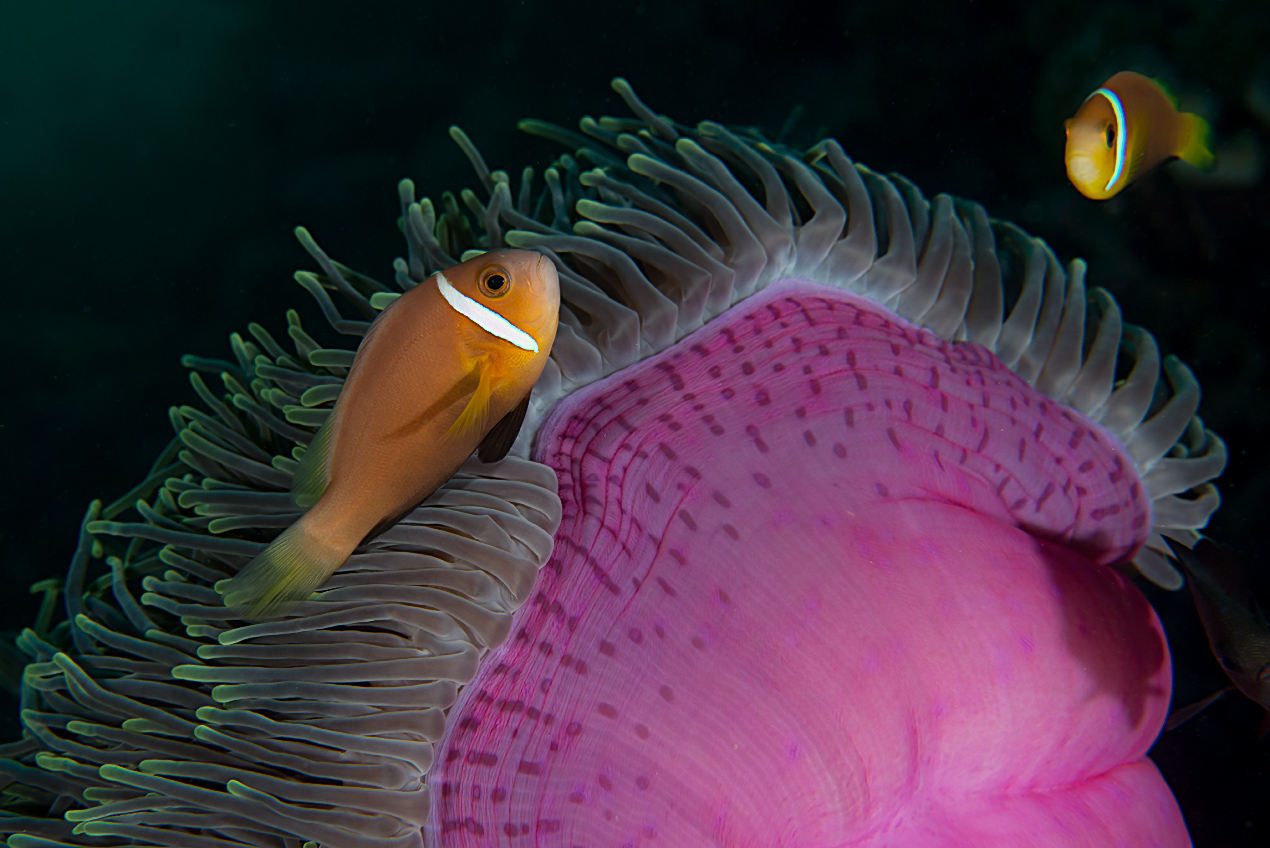 Maldives anemonefish (Amphiprion nigripes)