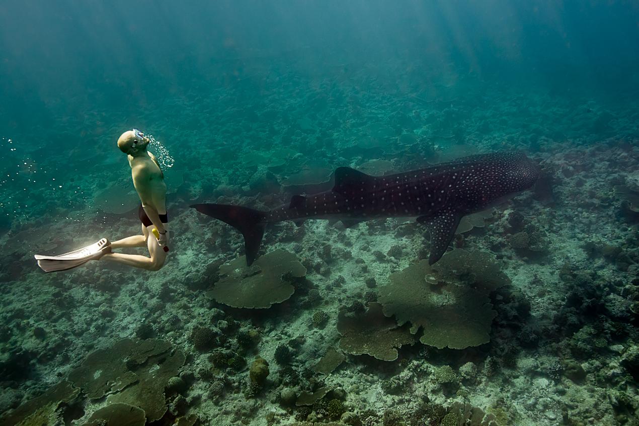 Whaleshark snorkeling (Rhincodon typus)