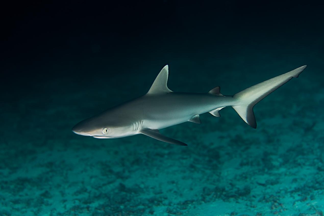Grey reef shark (Carcharhinus amblyrhyncus)