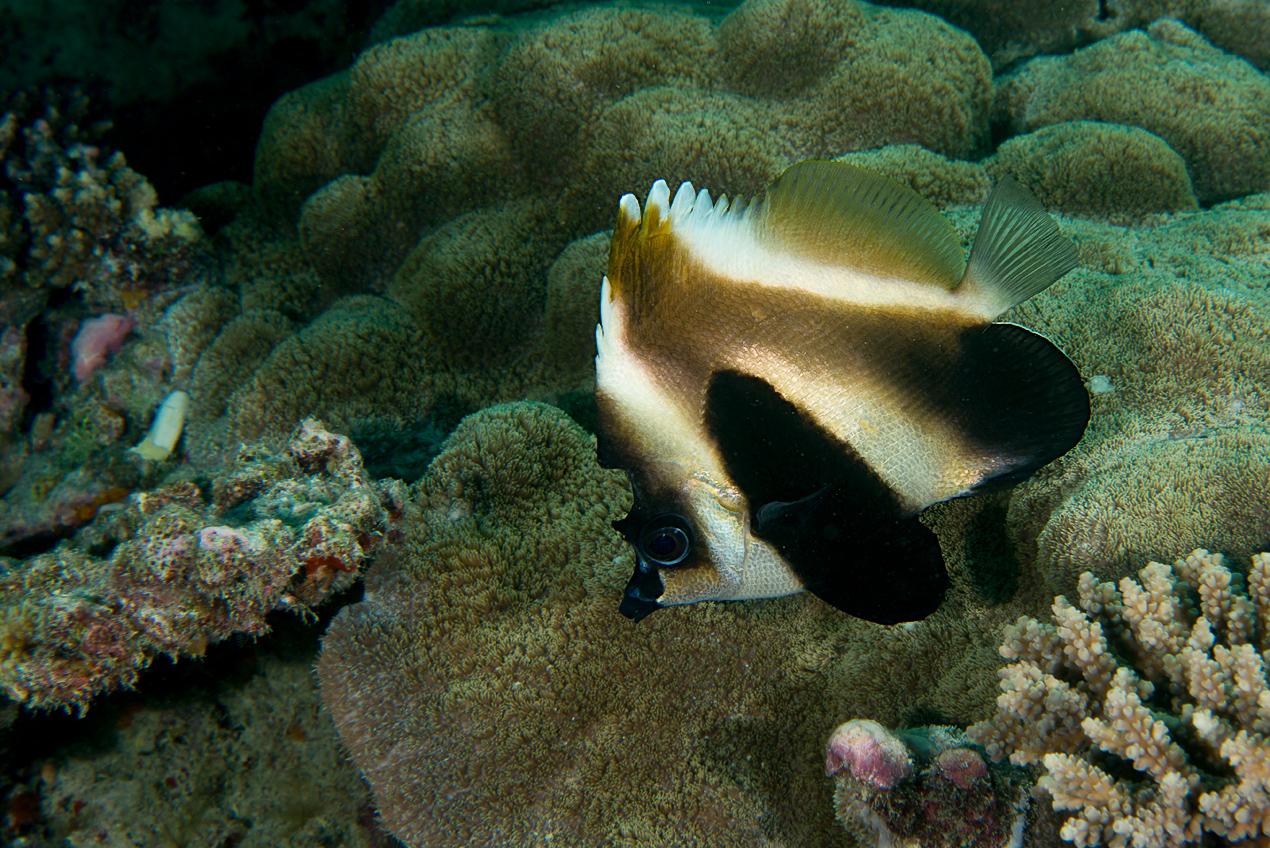 Phantom bannerfish (Heniochus pleurotaenia)