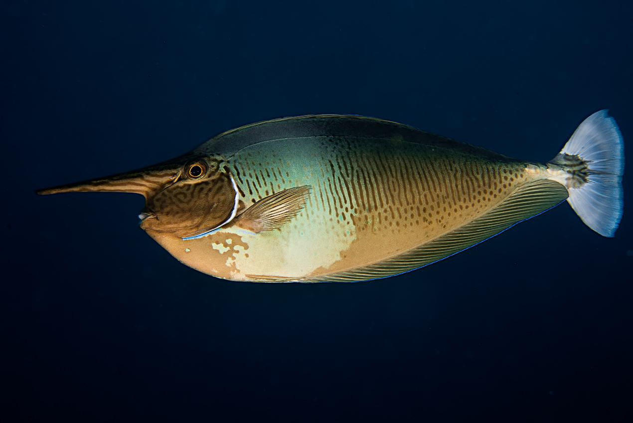 Spotted unicornfish (Naso brevirostris)
