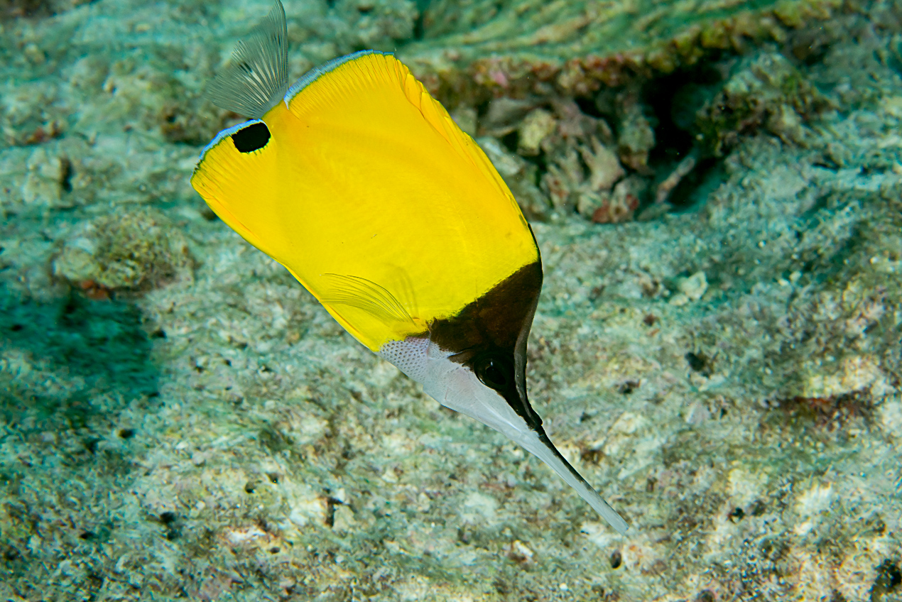 Very-long-nosed butterflyfish (Forcipiger longirostris)