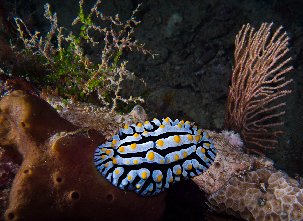 The nudibranch Phyllidia varicosa