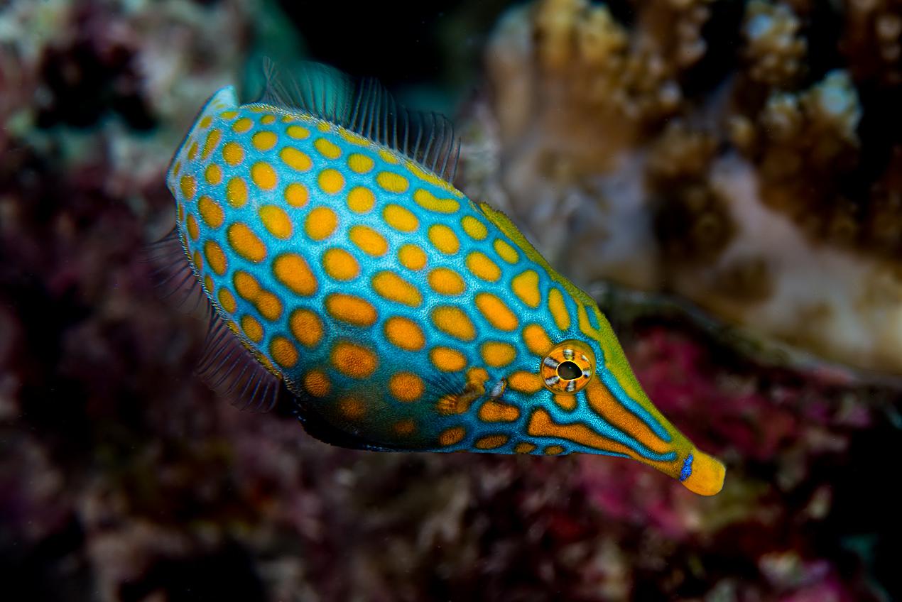 Longnose filefish (Oxymonacanthus longirostris)