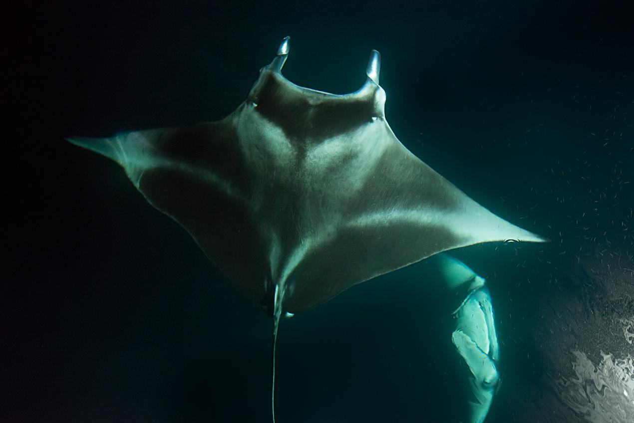Manta rays (Manta birostris) seen from the boat