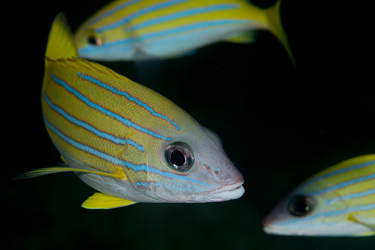 Bluelined snapper (Lutjanus kasmira)
