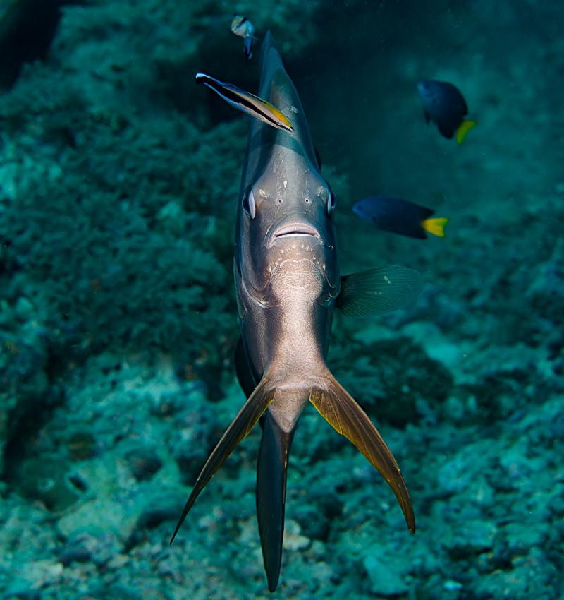 Longfin batfish (Platax teira) at cleaning station