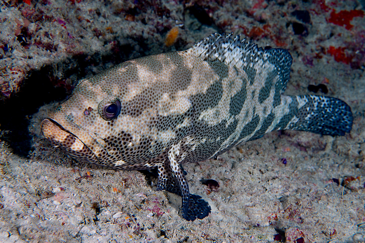 Brown-marbeled grouper (Epinephelus fuscoguttatus)