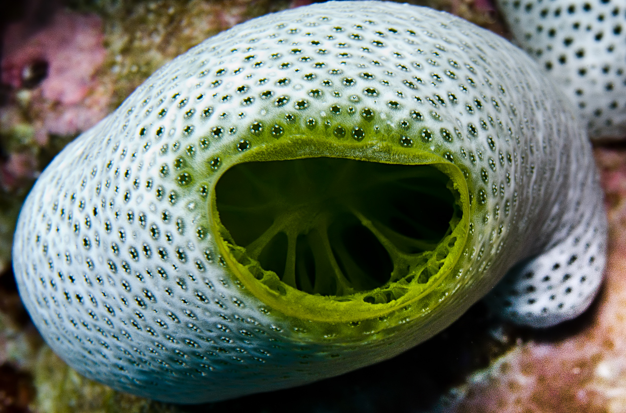 Green urn sea squirt (Didemnum molle)