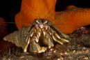 Hermit crab (Pagurus bernhardus)