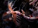 Chameleon shrimp (Praunus sp) on feather duster worm (Sabellidae)