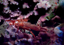 Squat lobster (Galathea sp)