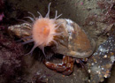 Hermit crab (Pagurus bernhardus) with the sea anemone Hormathia digitata