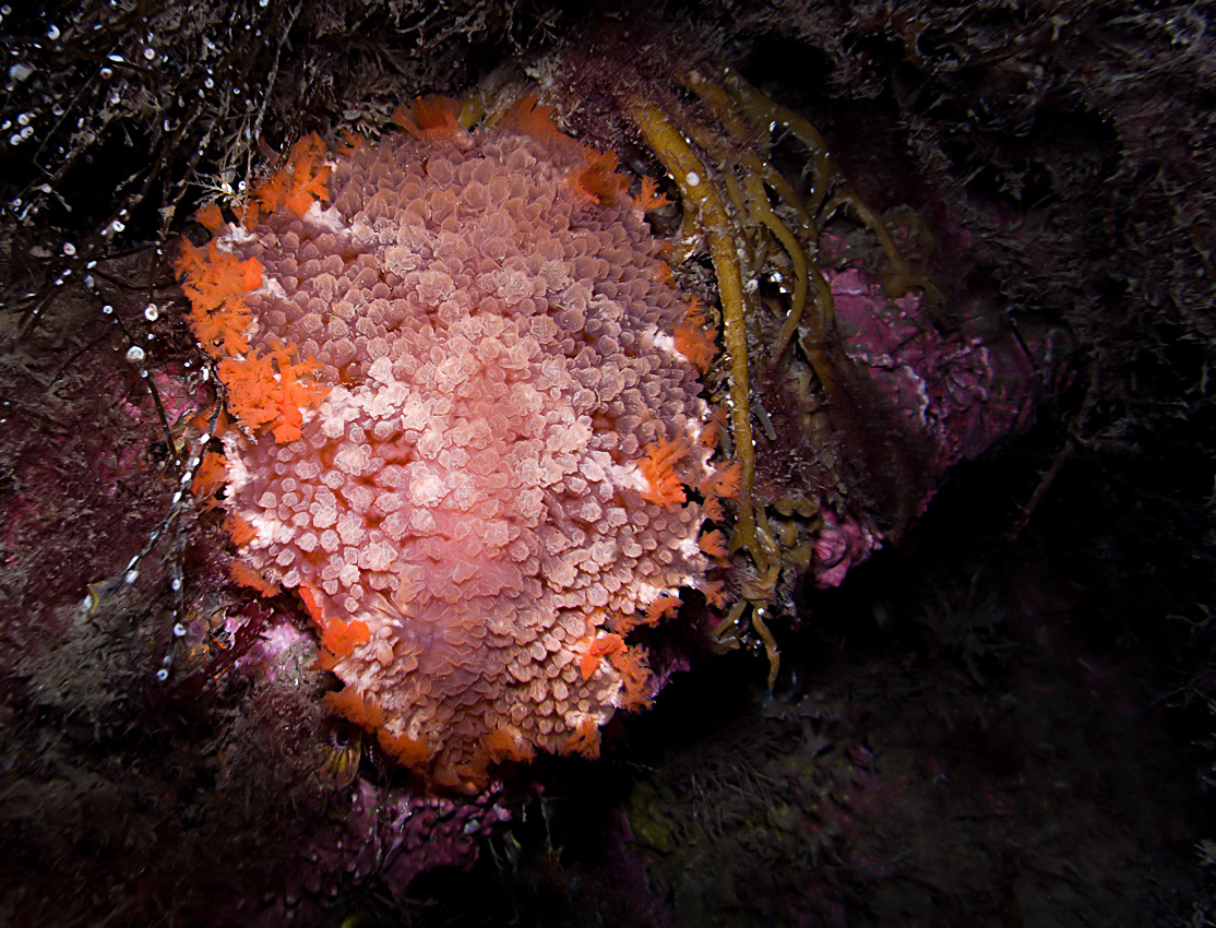 A nudibranch (Tritonia hombergii)