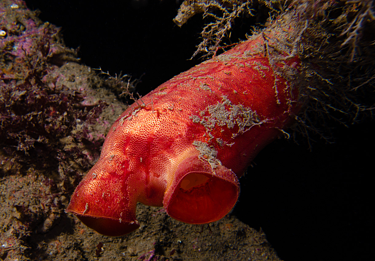 Sea peach (Halocynthia pyriformi)