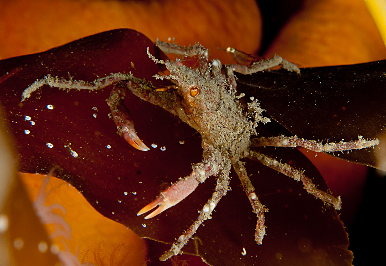 Spider crab (Hyas sp)