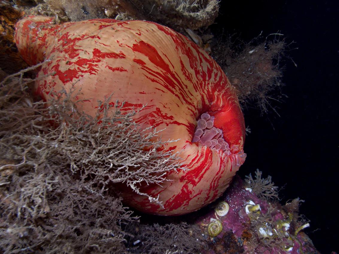 Deepwater Dahlia Anemone (Urticina eques)