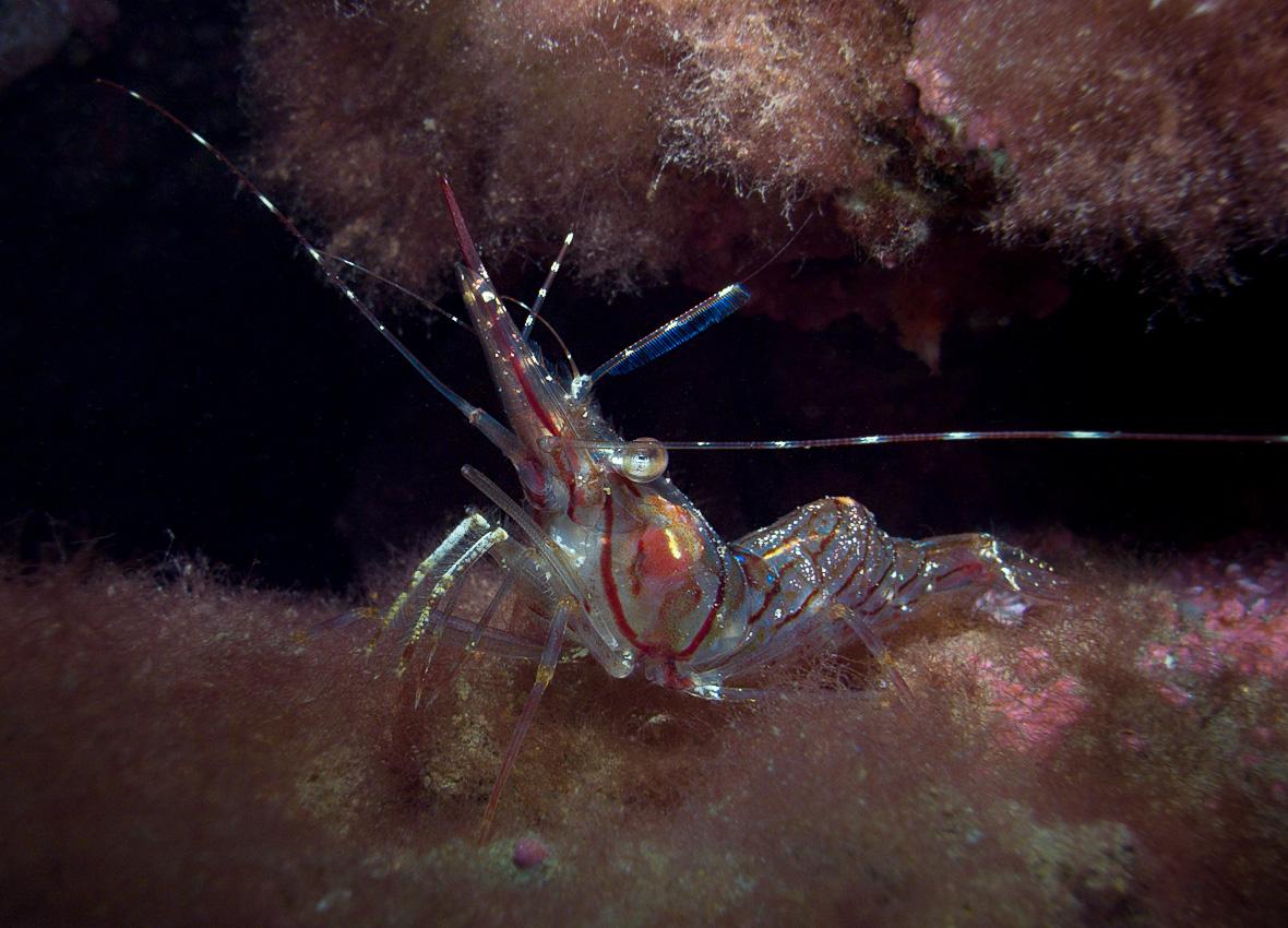 Pink shrimp (Pandalus montagui)