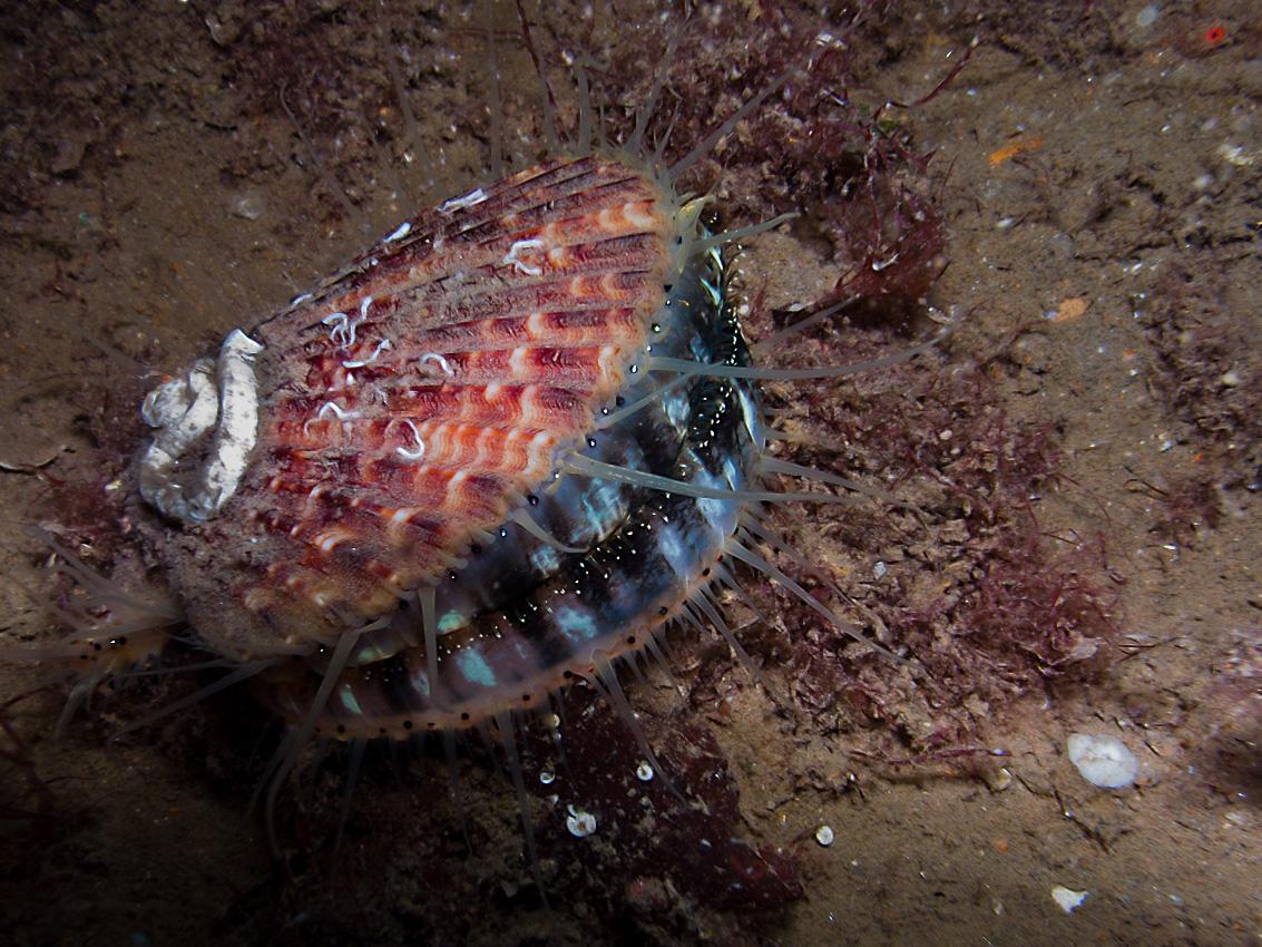 Queen scallop (Aequipecten opercularis)