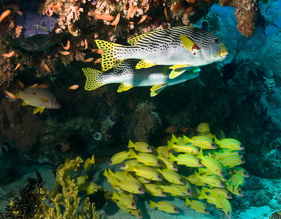 Diagonalbandad grymtfisk (Plectorhinchus lineatus) och Femradig snapperfisk (Lutjanus quinquelineatus) nedanför