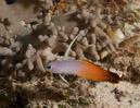 Fire dartfish (Nemateleotris magnifica)