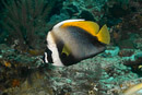 Singular bannerfish (Heniochus singularis)