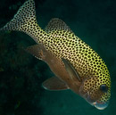 Harlekin-grymtfisk (Plectorhinchus chaetodonoides)