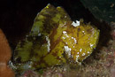 Bladskorpionfisk (Taenianotus triacanthus)