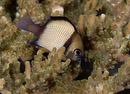 Nätmönstrad frökenfisk (Dascyllus reticulatus)