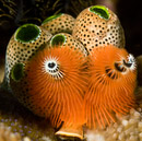 Christmas tree worm (Spirobranchus corniculatus complex) and Robust sea squirt (Atriolum robustum)