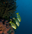 Yellow-ribbon sweetlips (Plectorhinchus polytaenia)
