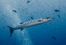 Blackfin barracuda (Sphyraena qenie)