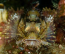 juvenile scorpionfish (Scorpaenopsis sp)