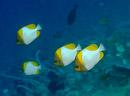 Pyramidfjärilsfisk (Hemitaurichthys polylepis)