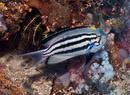 Lamarck's angelfish (Genicanthus lamaracki)