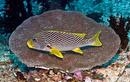 Diagonal-bandad grymtfisk (Plectorhinchus lineatus)