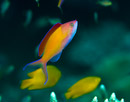 Peach anthias (Pseudanthias dispar)