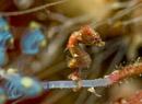 Severns' pygmy seahorse (Hippocampus severnsi)