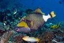 Titan triggerfish (Balistoides viridescens)
